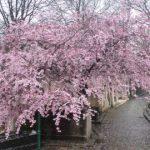 La beauté du Père-Lachaise au printemps.